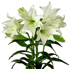 Deluxe Easter Lily