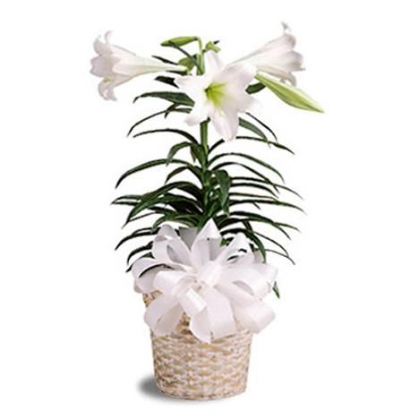 Por Easter Lily Plant 9143y